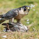 Peregrine Plucking Pigeon