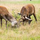 Rutting Red Deer