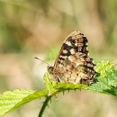 Speckled Wood (Scottish Sub-Species)