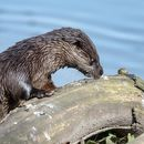 Young Otter
