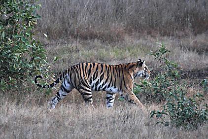 Tigress calling to 3 cubs