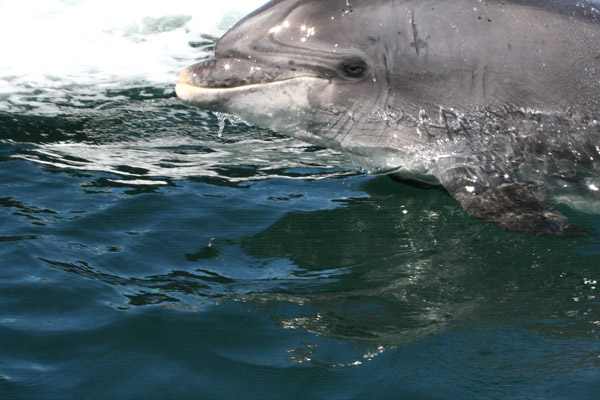 Fungi the dolphin in Dingle Harbour