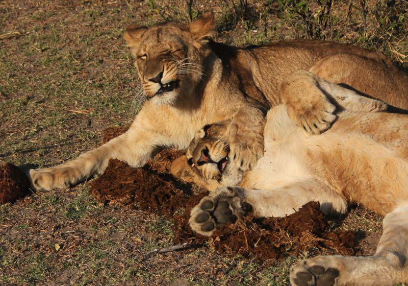 Alert project lions