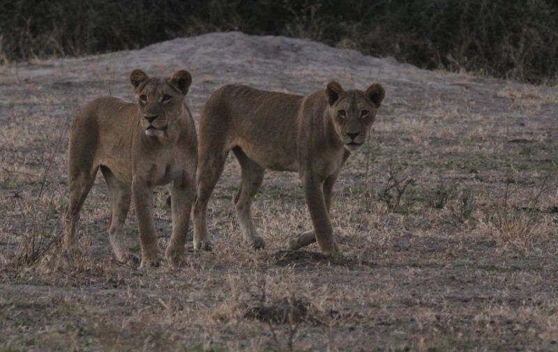Two Lioness in the fading light.