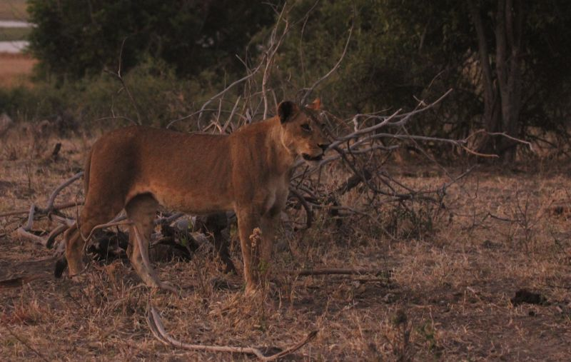 Lioness on the prowl.