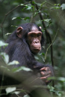 Chimps at Kibale