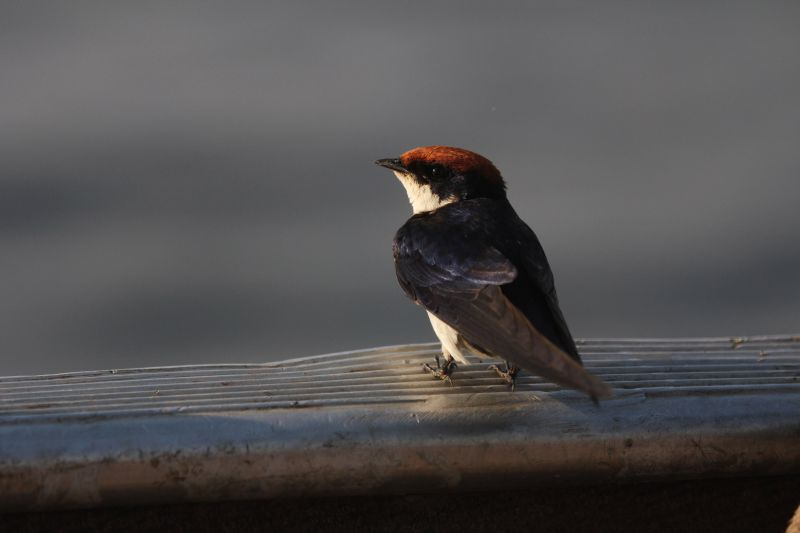 Wire-tailed Swallow.