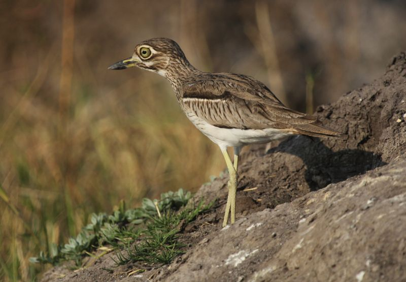 Water Thick-knee.