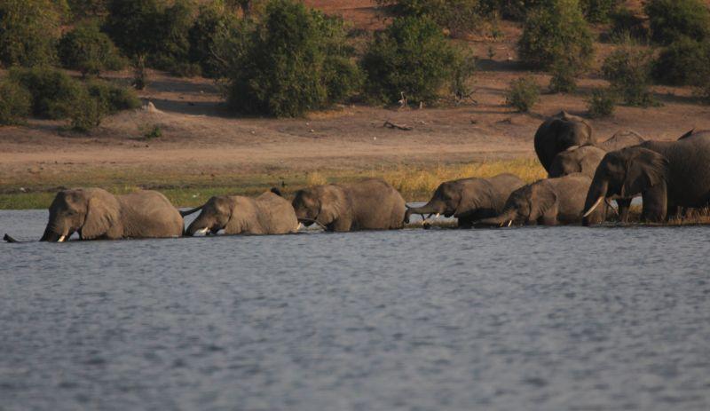 Elephant herd swimming.