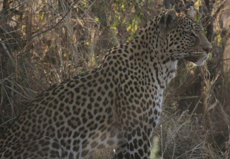 Stunning Leopard.