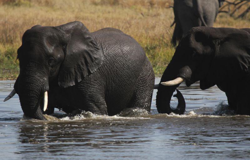 Elephants playing.