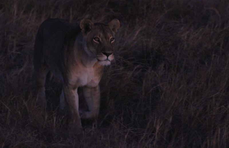 Lioness in the dark.