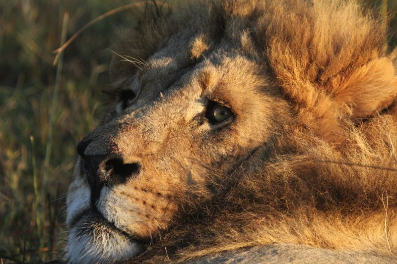 Noisy lion.