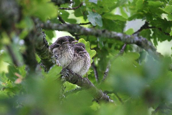 Pied Flycatcher fledglings