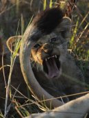 Lion cub showing his teeth.