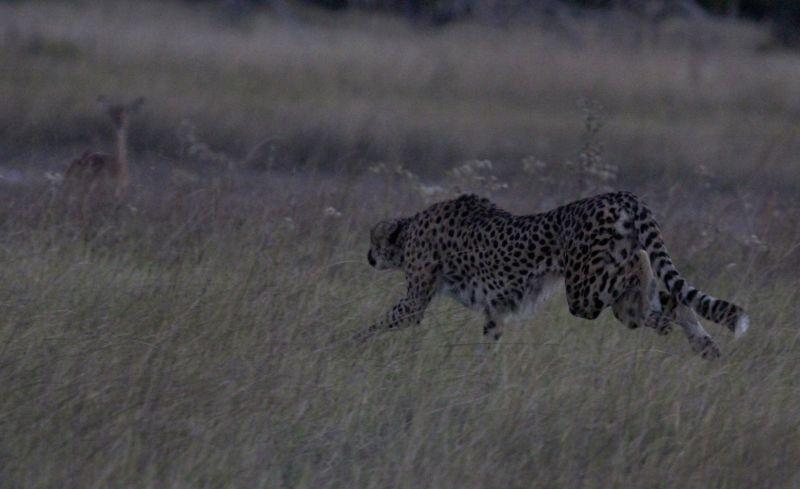 Cheetah hunting.