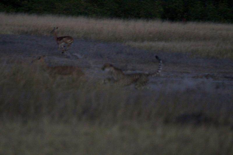 Cheetah at full speed.