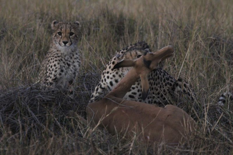Mother Cheetah with Impala.