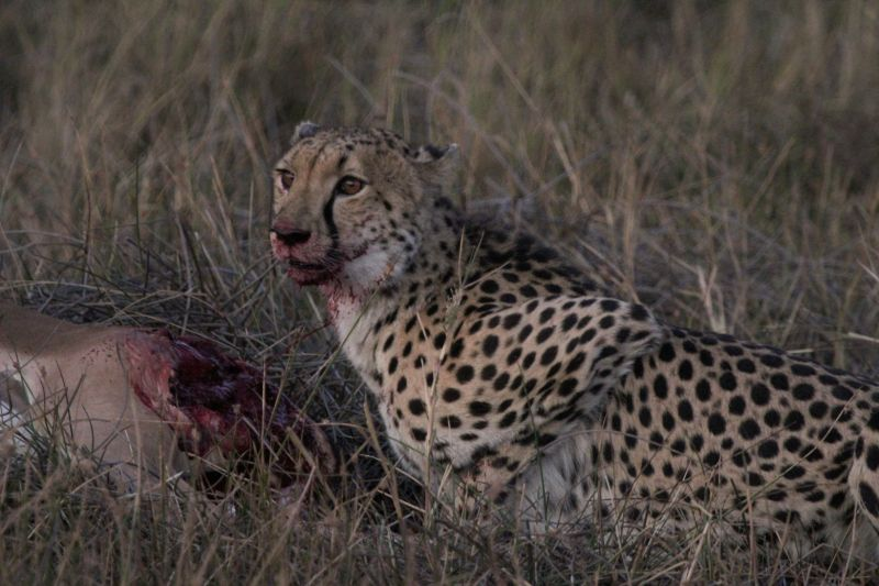 Cheetah mother eats at last, sadly the Impala is still alive at this point.