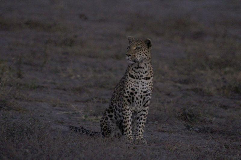 Leopard sniffs the air.