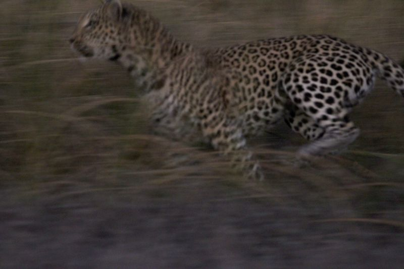 Leopard chasing.