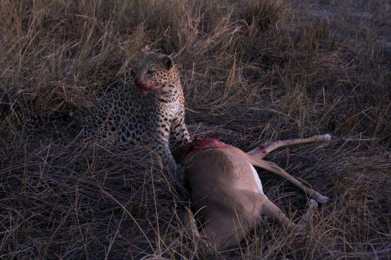 Leopard feeding on Impala.