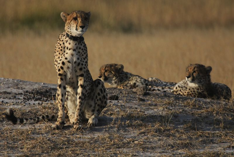 Cheetah with Cubs.