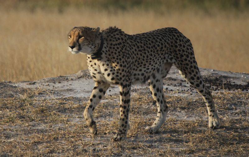 Female cheetah.