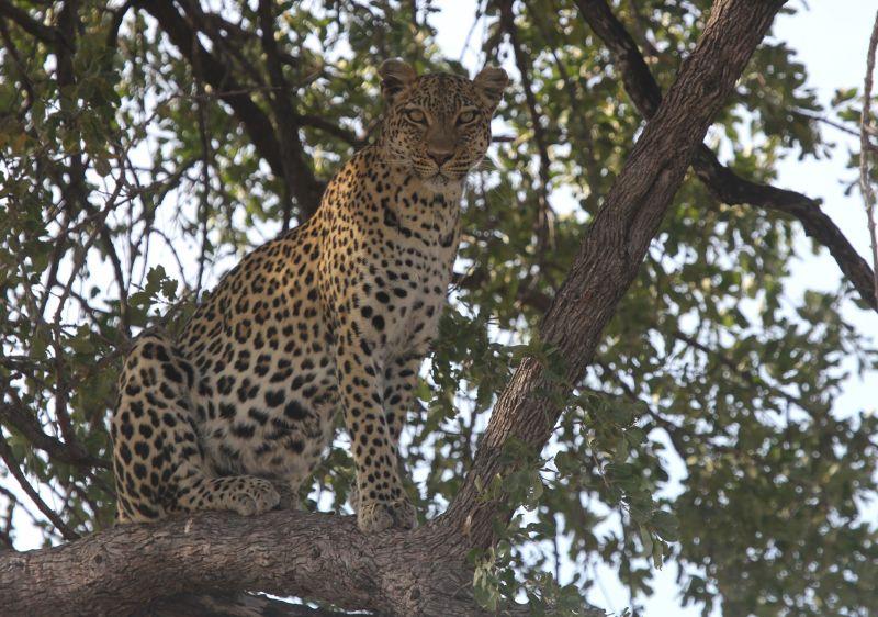 Leopard in tree.