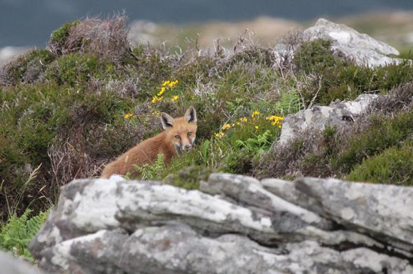 Fox - Three Sisters, Dingle