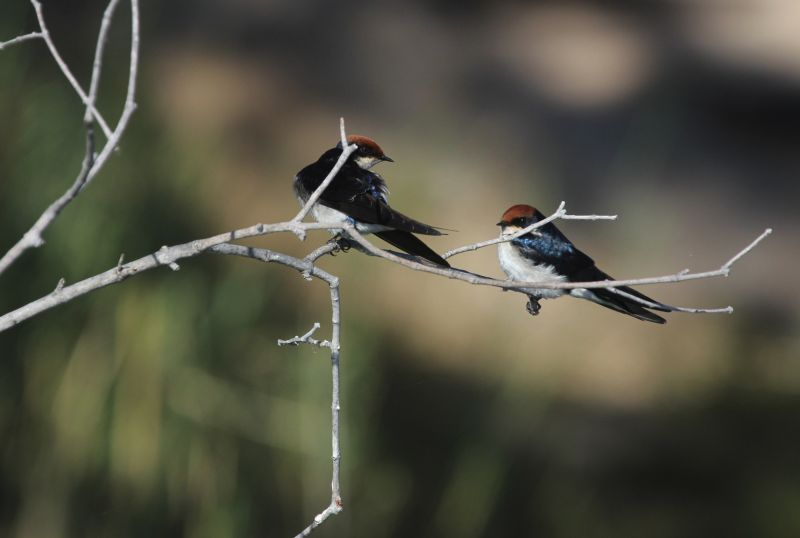 Wire-tailed Swallows on branch.
