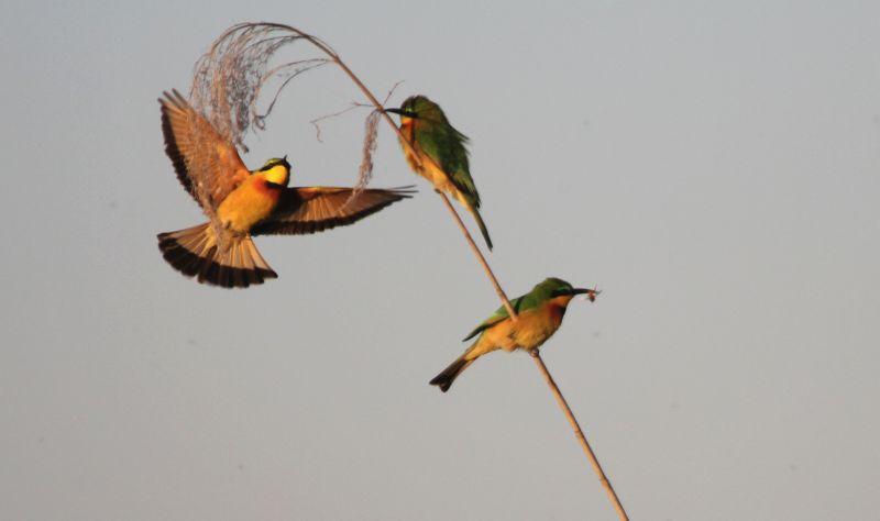 Little Bee-eaters in flight.