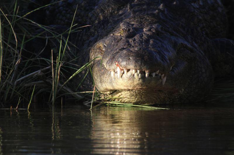 Crocodile on bank.