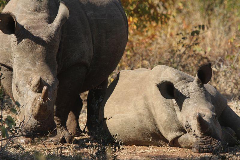 White Rhino mother and baby.