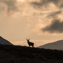 Red Deer in Glen Kinglas