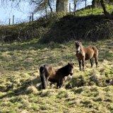 Exmoor ponies.