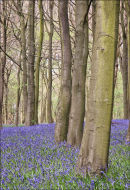 Bluebell Wood No 3