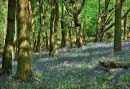 Bluebell Wood No 6