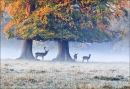 Ashridge Deer No 4