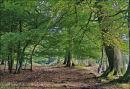 Autumn in Ashridge No 3