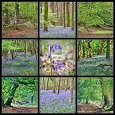 Bluebell Wood No 8