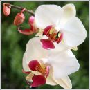 White Orchid No 2