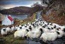 Torridon Sheep