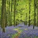 Bluebells Dockey Wood No 2