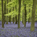 Bluebells, Dockey Wood No 4