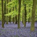 Bluebells Dockey Wood No 4