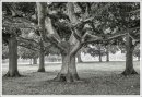 Rothamsted Trees No 3