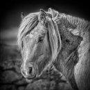 Portrait of a Dartmoor Pony 2