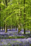 Ashridge Bluebells, Dockey Wood No 5