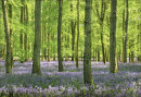 Ashridge Bluebells, Dockey Wood No 6